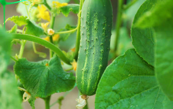 How to Grow Cucumber Plant