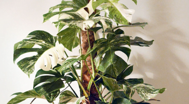 How to Revive Monstera Plant