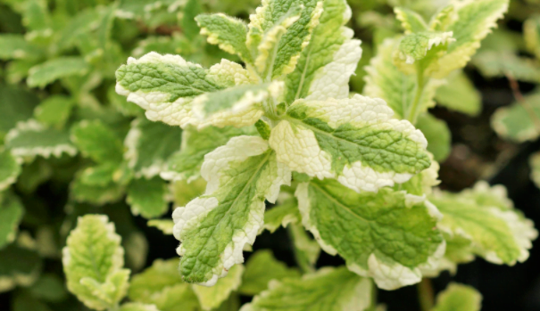 Mint Plant Dying